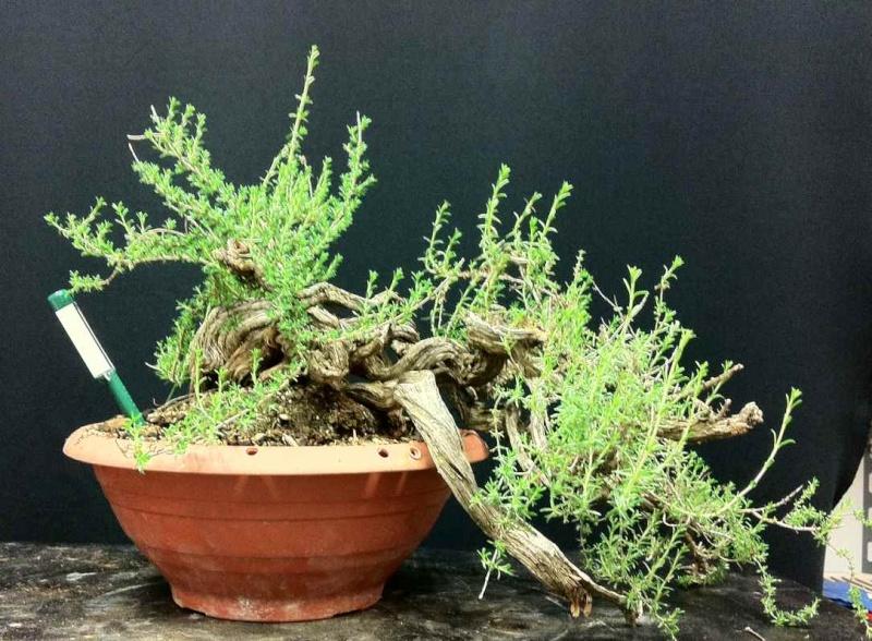 TIMO ... futuro bonsai ... Foto_311