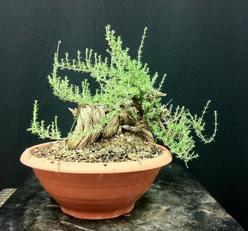 TIMO ... futuro bonsai ... Foto_410