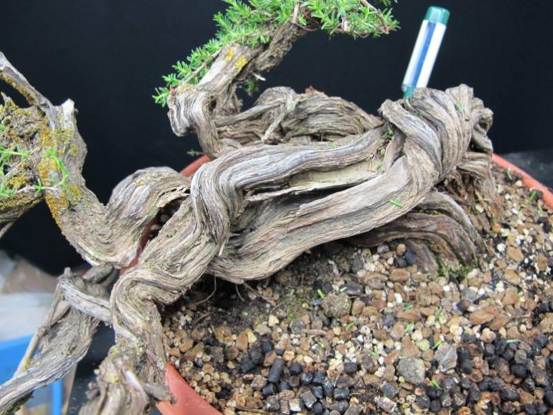 TIMO ... futuro bonsai ... Img_3117