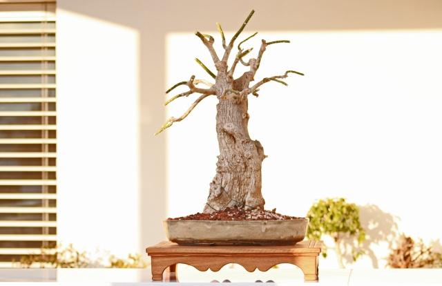 Please identify my tree. (Phytolacca dioica - Ombu as identified by David B.) Img_6220