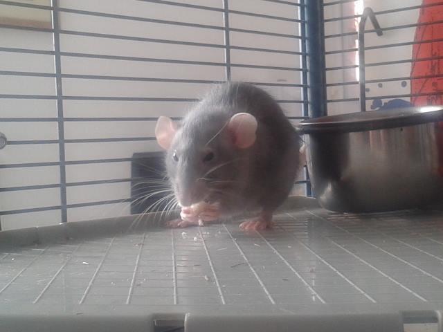 de retour chez les ratouphiles , voila mes princesses  Tiikey12