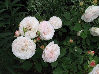 apple blossum Gruss_12