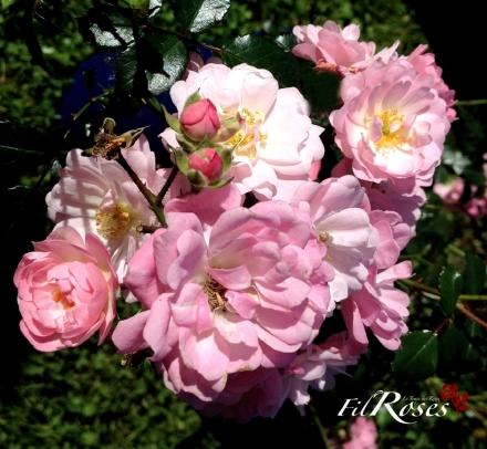 apple blossum Ke_pro23