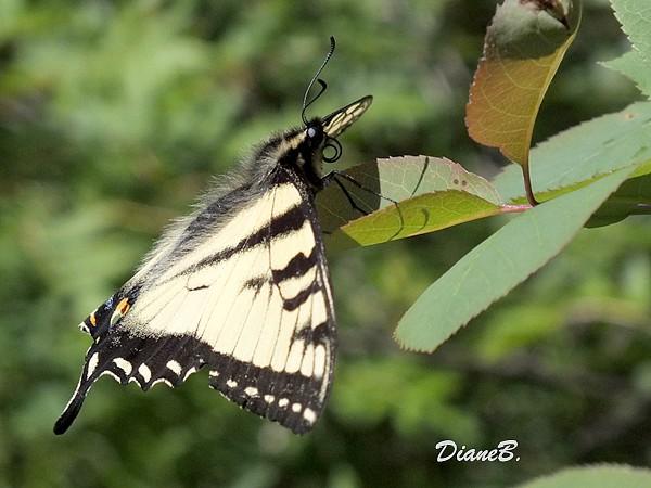Papillon Maachaon Dscf6010