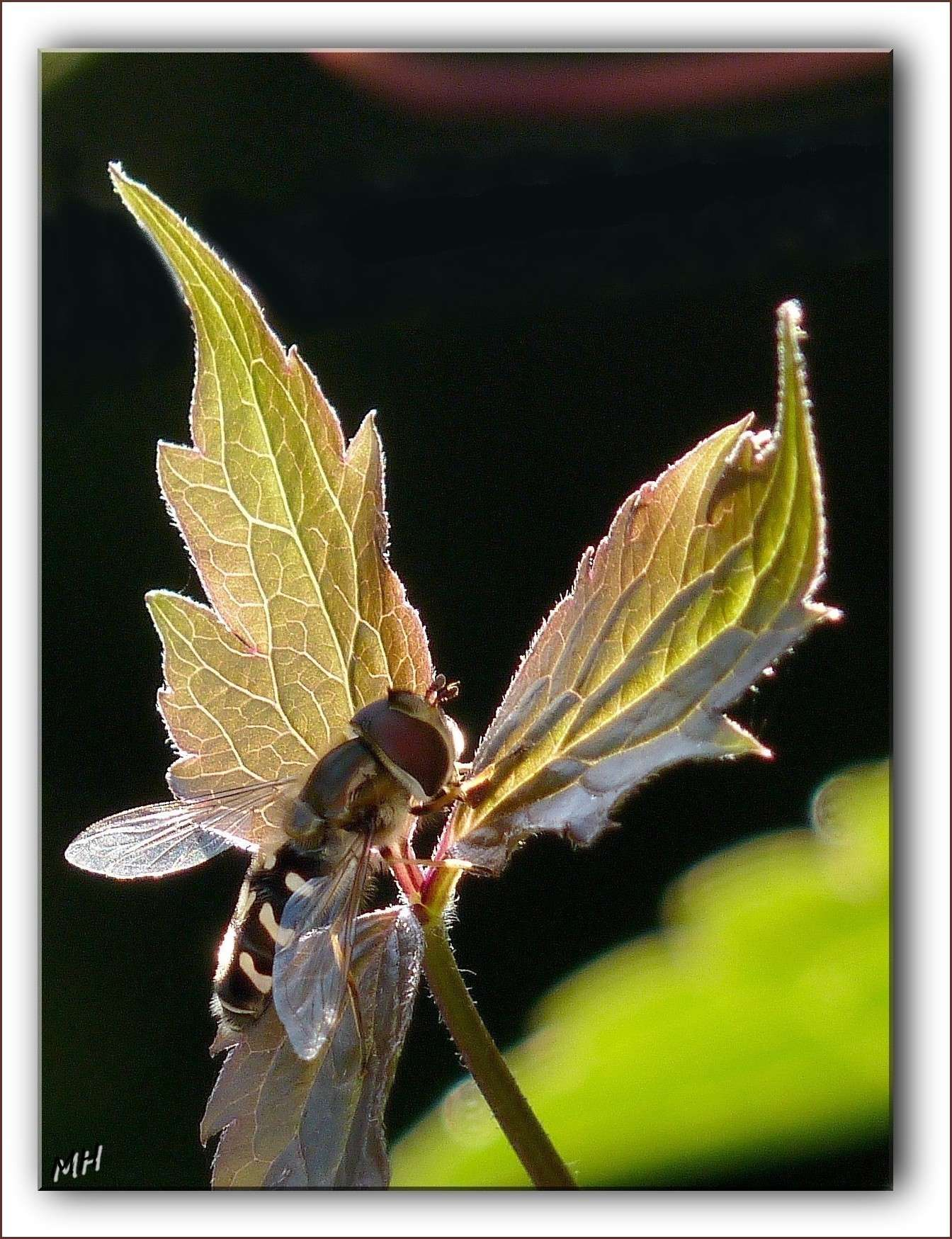 Quelques insectes Syrphe11