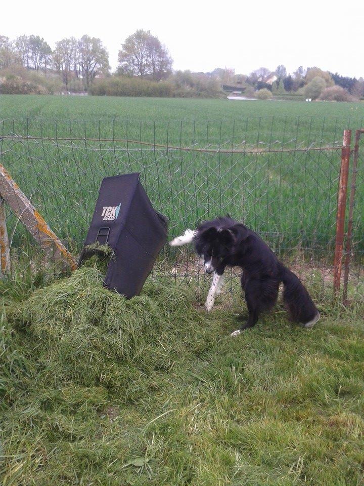 le border collie : un chien qui travaille ^^ 10144711
