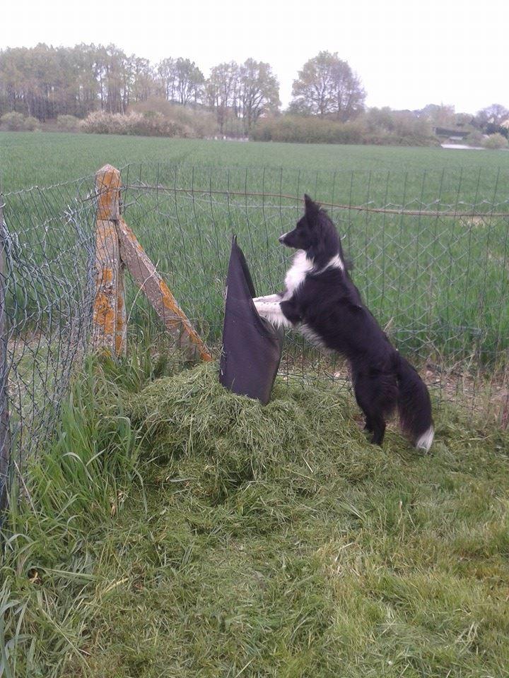 le border collie : un chien qui travaille ^^ 10247310