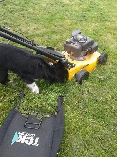 le border collie : un chien qui travaille ^^ 10253811