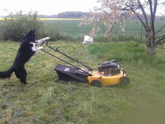 le border collie : un chien qui travaille ^^ 16227111