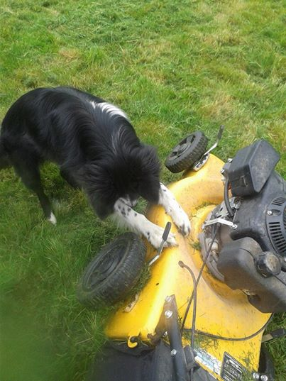 le border collie : un chien qui travaille ^^ 19750111