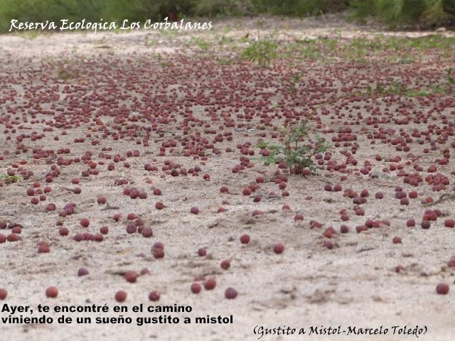 Mistol (Zizyphus mistol Griseb) P1170510