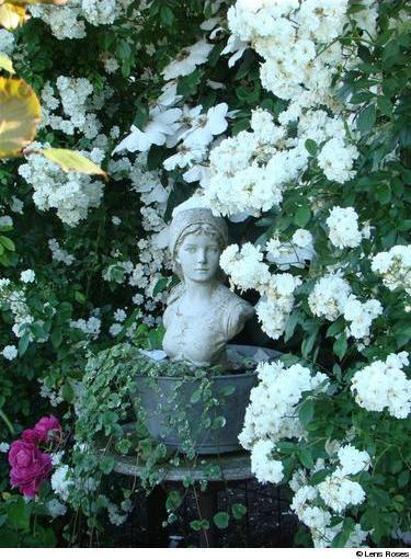 Rosa Guirlande d'Amour  63111010