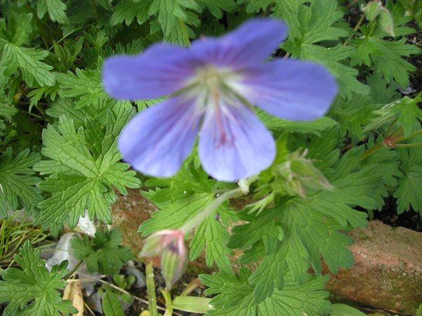 geranium vivace Gvinco10