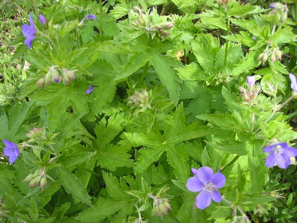 geranium vivace Gvmayf10