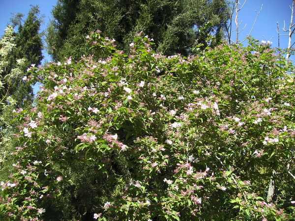 Koltwitzia Amabilis 'Pink Cloud' Kolwit10