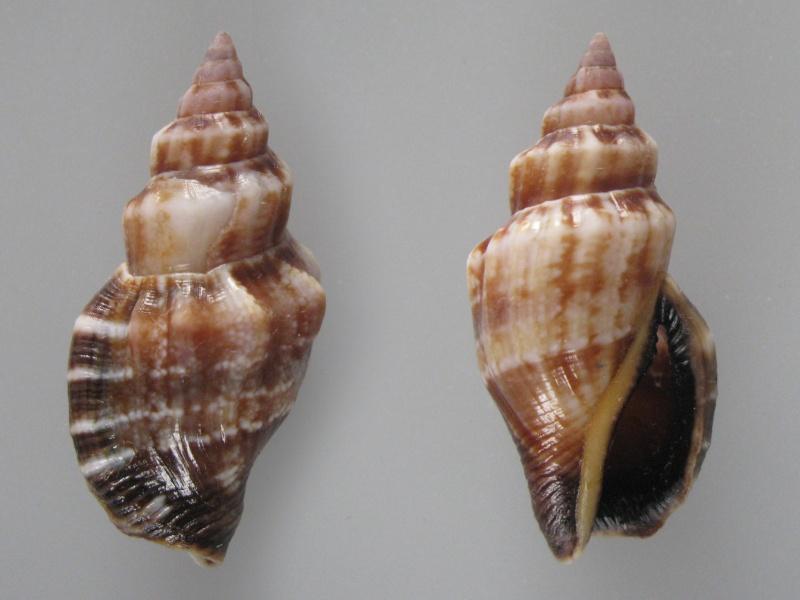 Canarium erythrinum - (Dillwyn, 1817) Img_8920