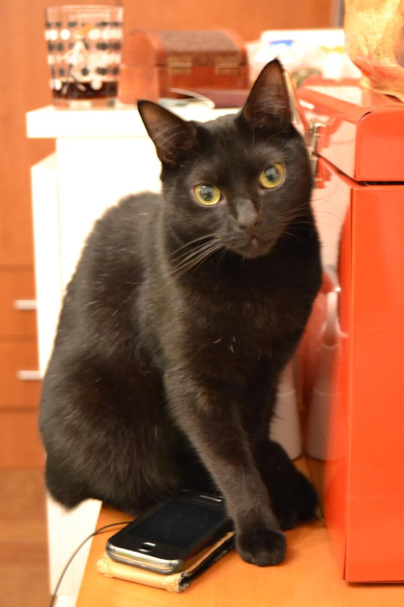 Haïcha, chatonne noire née le 04/10/2012 Haicha10