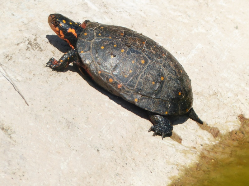 La Vallée des tortues - Sorède - 15.09.2012/13/04/2014 P1020216