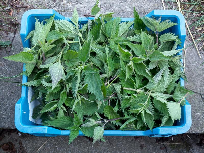 [Plante] L'ortie G1x_2911