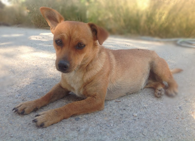 Adoption Tera X pinscher .2 ans .(47) 10014110