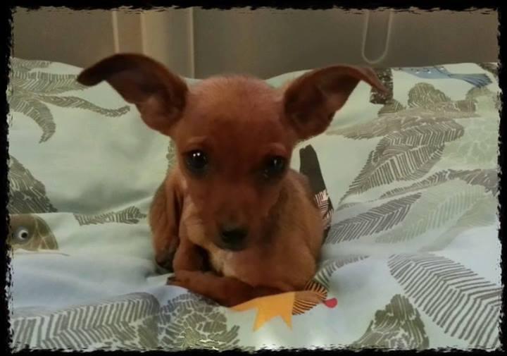 Adoption Lina typée pinscher 2 mois 1,3 kg.(95) 14225811