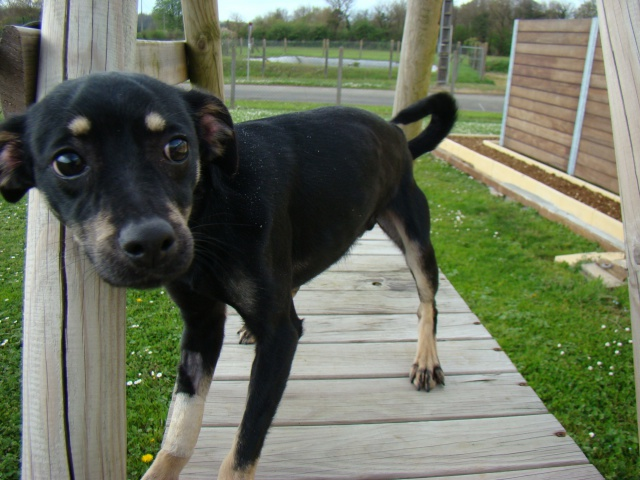 Adoption Hazur x pinscher de 2 ans (79)(en fa) 15261510