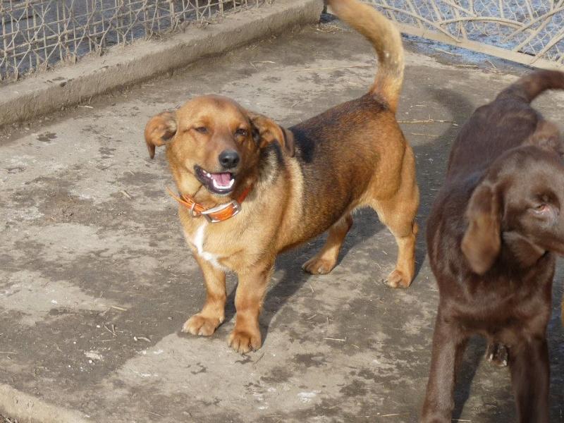 BIGY mâle Basset x Pinscher 1 an et demi 9kg (Becej) (Serbie) 15586010