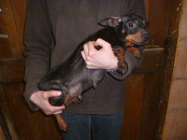 Adoption Nina femelle pinscher retraitée d'élevage de 9 ans (60) 16900010