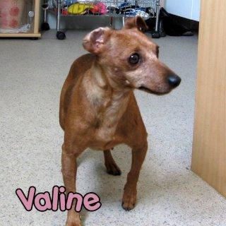 VALINE Pinscher Femelle née en 2004 (58) - Page 3 18842410