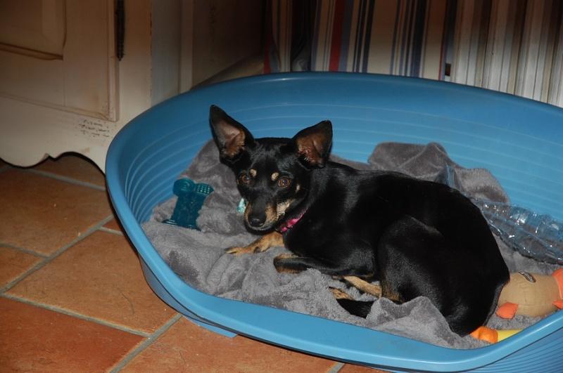 Adoption Hera pinscher noire et feu de 4 kg ,un an et 10 mois (76) 72876010