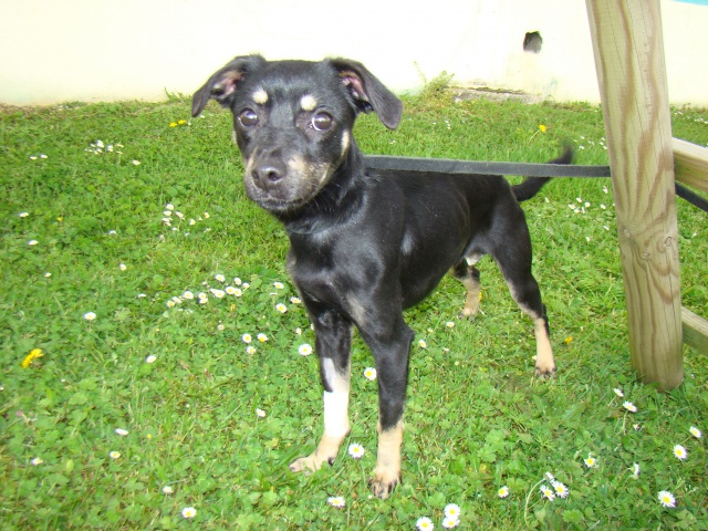 Adoption Hazur x pinscher de 2 ans (79)(en fa) 96923410
