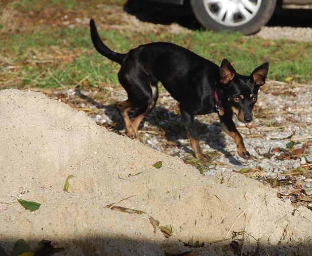 Adoption Hera pinscher noire et feu de 4 kg ,un an et 10 mois (76) 98706910