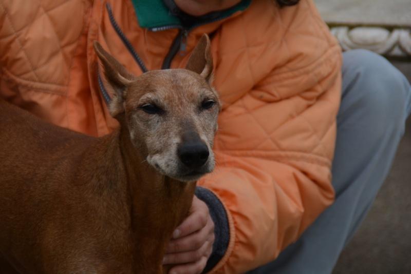 Adoption Monia pinscher pure race de  12 ans (47) Dsc_0010