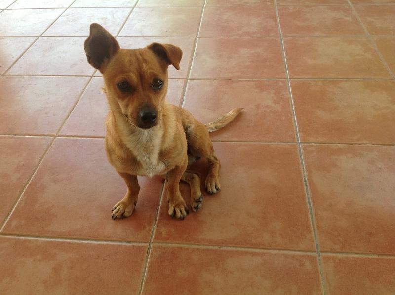 Adoption Tera X pinscher .2 ans .(47) La_fot11