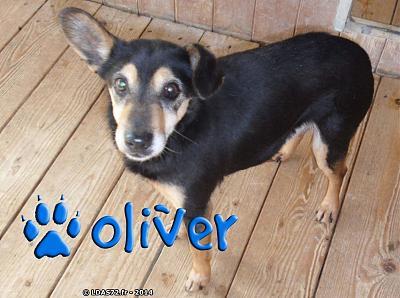 URGENT .OLIVER - X Pinscher (10 ans 4 mois)- LDAS (72)  Oliver10