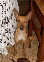 Adoption Pinki pinscher d'un an et un mois (77) Punki10