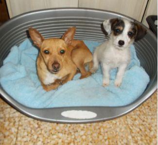 Adoption Pinki pinscher d'un an et un mois (77) Punki_10