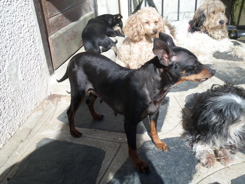 Adoption Nina femelle pinscher retraitée d'élevage de 9 ans (60) Sam_0110