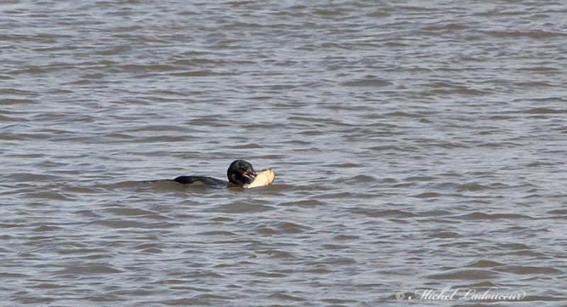 cormoran à aigrettes W322