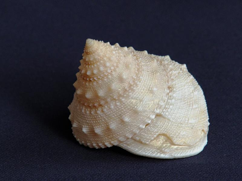 Lischkeia alwinae - (Lischke, 1871) Alwina10