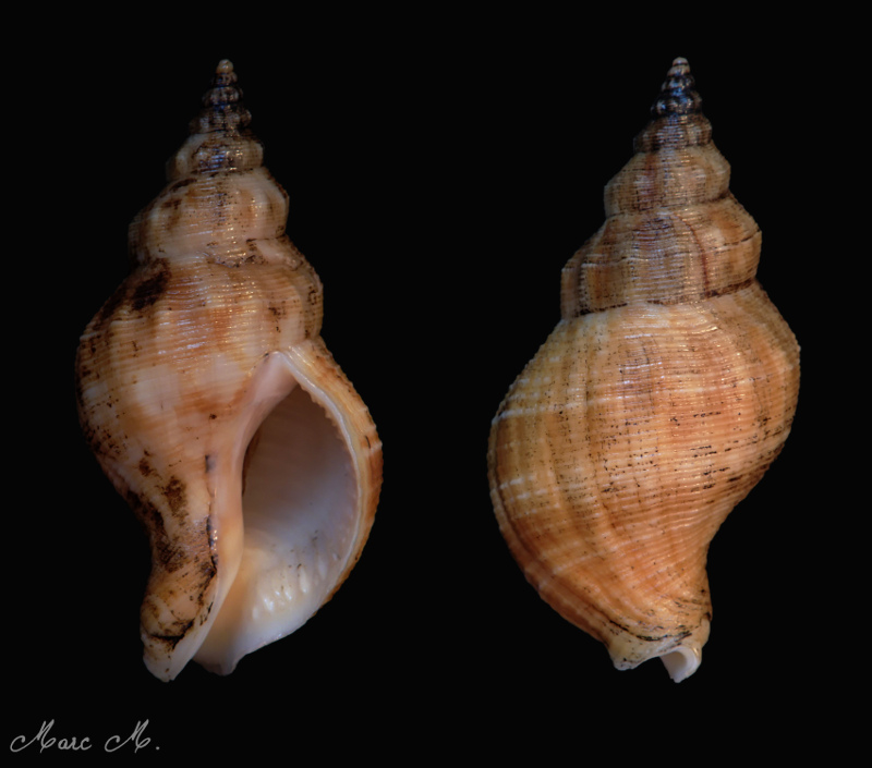 Siphonalia spadicea - (Reeve, 1847) Bulot_10