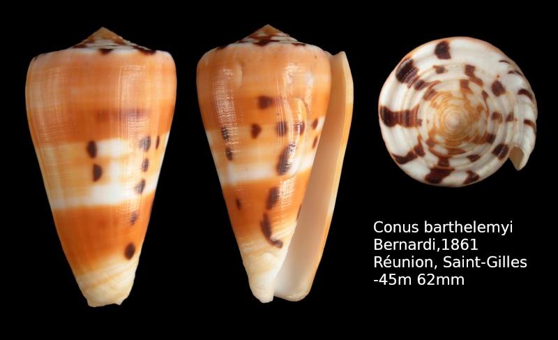 Conus (Pionoconus) barthelemyi  Bernardi, 1861 - Page 6 Conus_10