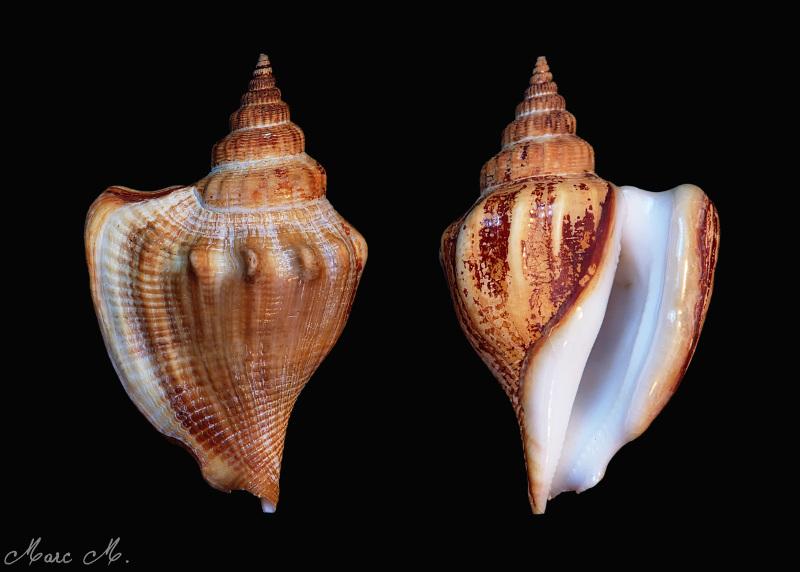 Dolomena labiosa - (Wood, 1828) Labios10