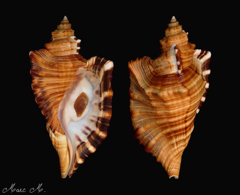 Cymatiidae Cymatium raderi  -  (D'Attilio & Myers, 1984) Raderi10