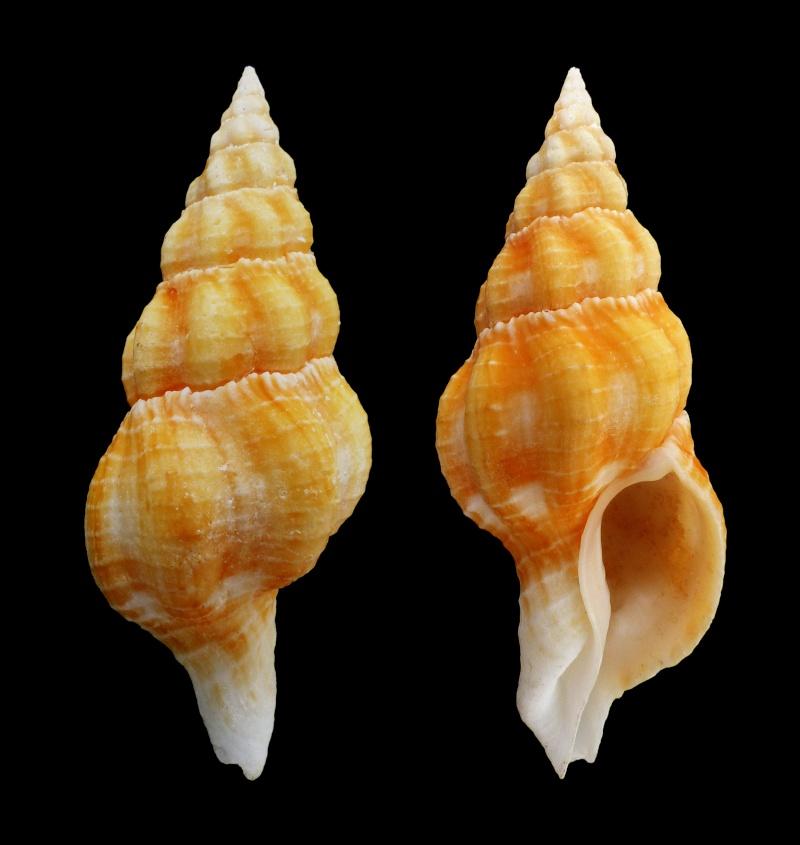 Fusolatirus sarinae - (Snyder, 2003) Sarina10