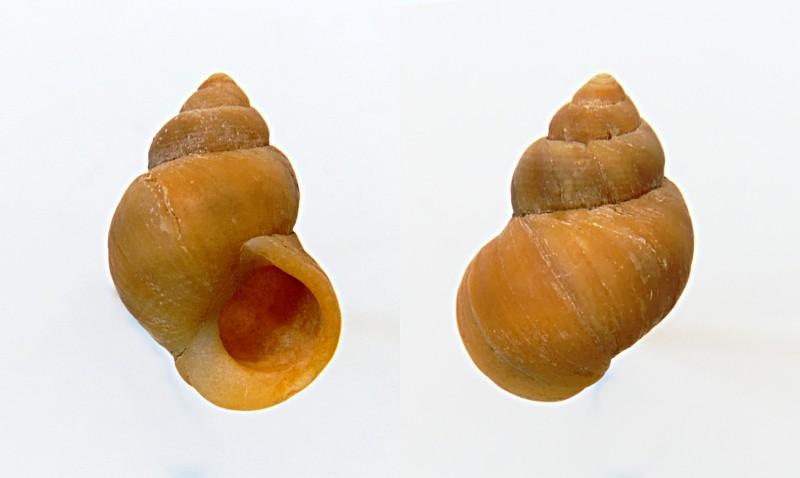 Littorina saxatilis - (Olivi, 1792) Saxafr10