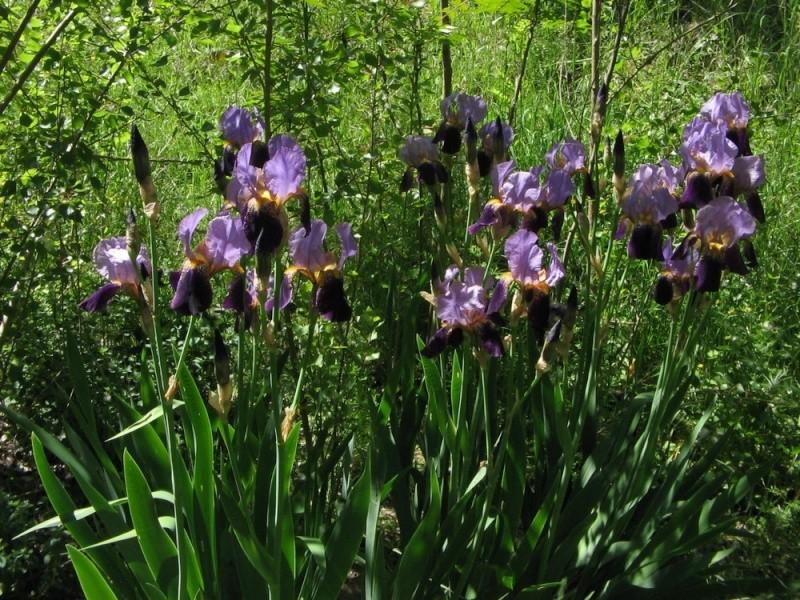 les iris increvables Alcaza10
