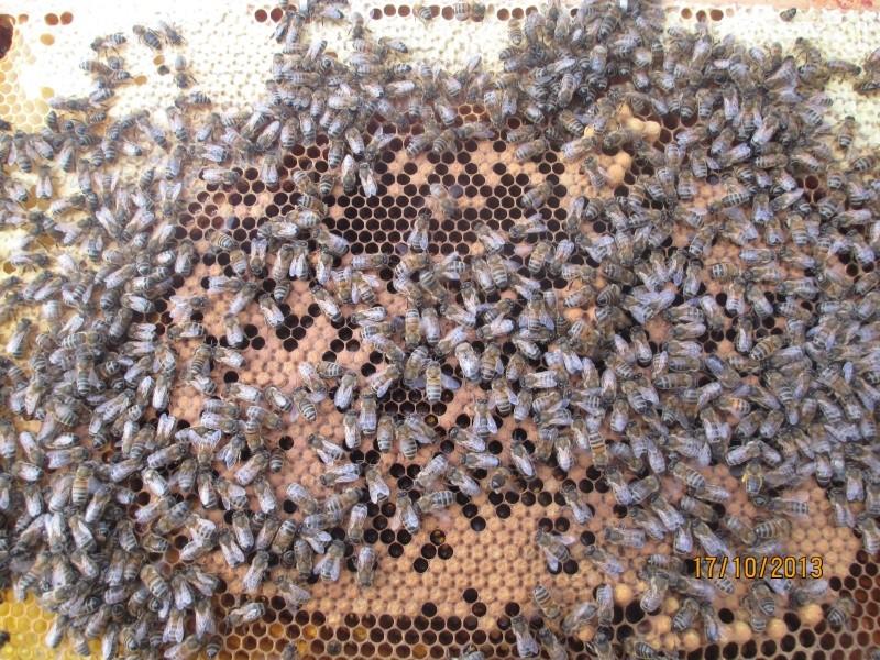 Une ruche , deux reines .... Abeill13