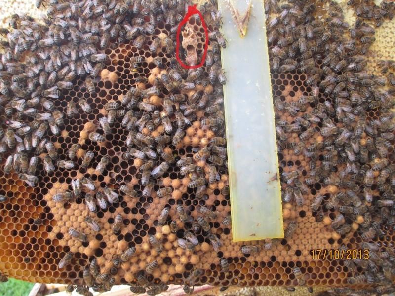 Une ruche , deux reines .... Abeill15