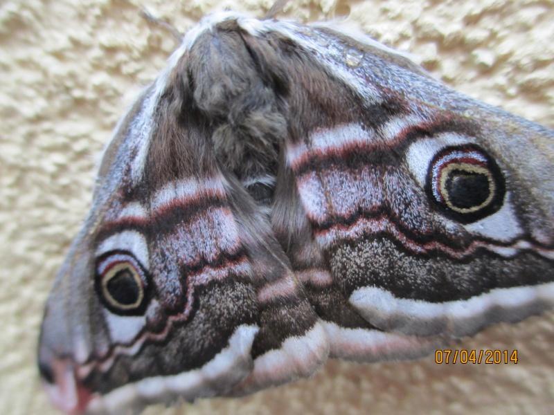 Beau papillon ^^ Papill12
